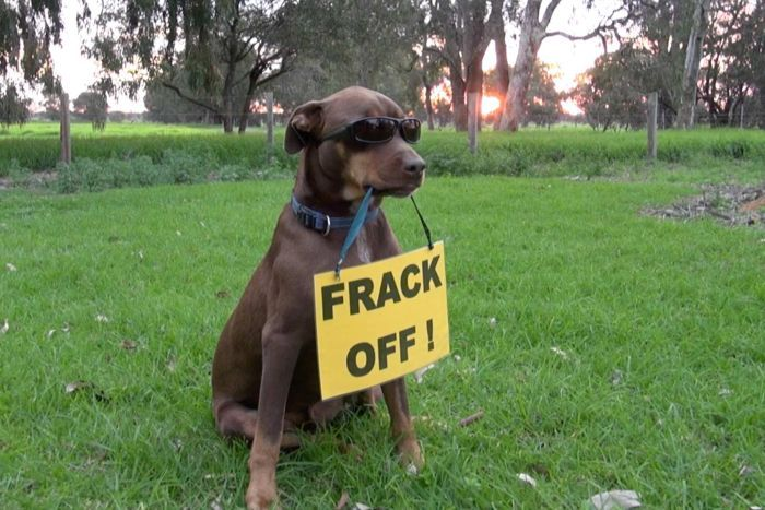 A brown kelpie wearing sunglasses sits in a paddock with a sign hanging from its mouth that reads 'Frack off'.