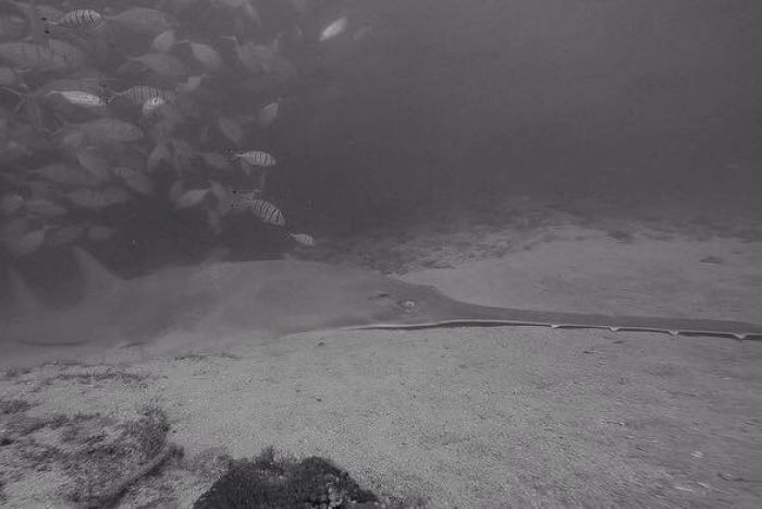 A sawfish lies on the ocean floor with a school of fish nearby.