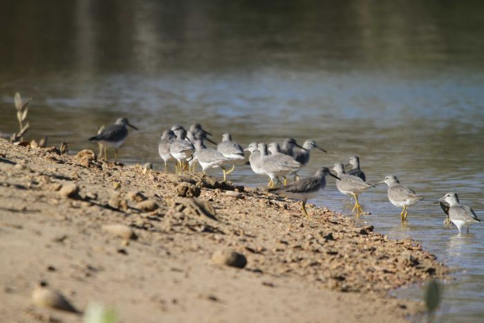 Grey and white birds stand on the water's edge.
